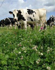 vache dans une prairie Dynamic