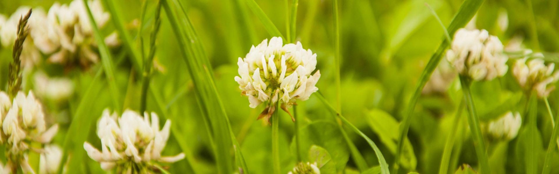 trefle blanc